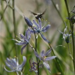 Camas with bumblebee