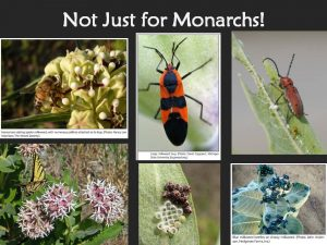 """of 43 species of native flowering perennials evaluated, showy milkweed attracted the most beneficial insects in a Washington state vineyard study"