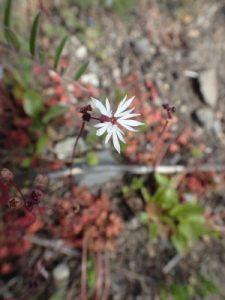 Bulbiferous prairie-star