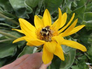 Bumblebee on Balsamroot