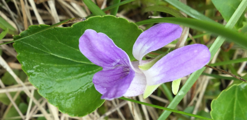 Violets are amazing!