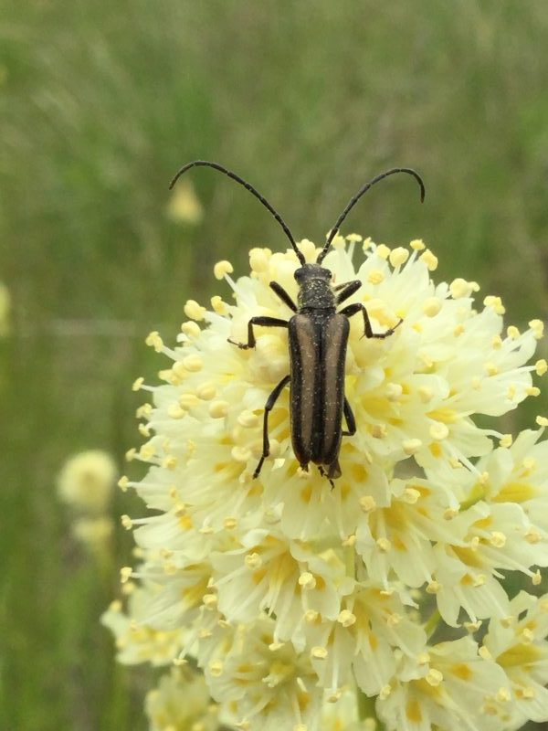 Death Camas with beetle