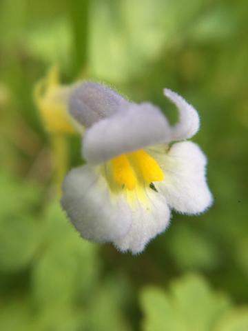 Naked Broomrape (<em>Orobanche uniflora</em>)
