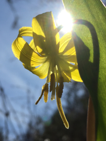 Yellow Glacier Lily (<em>Erythronium grandiflorum</em>)