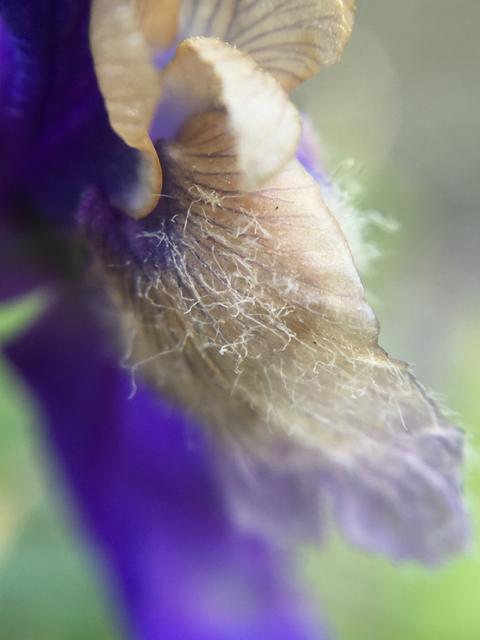 Upland Larkspur (<em>Delphinium nuttallianum</em>)
