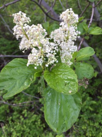 Redstem Ceanothus (<em>Ceanothus sanguineus</em>) May 13