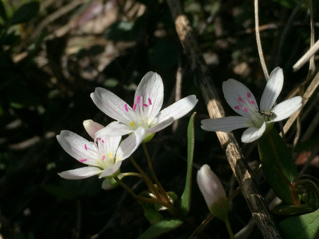 Western Springbeauty (<em>Claytonia lanceolata</em>)